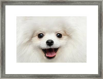 Closeup Furry Happiness White Pomeranian Spitz Dog Curious Smiling Framed Print