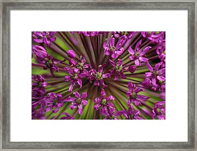 Allium Christophii Framed Art Prints Fine Art America