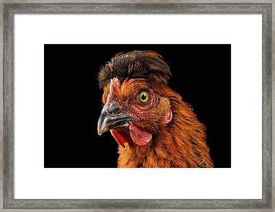 Closeup Ginger Chicken Isolated On Black Background In Profile View Framed Print by Sergey Taran