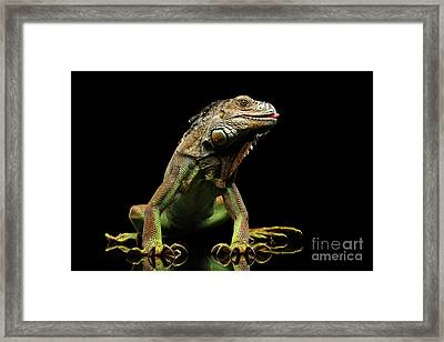 Closeup Green Iguana Isolated On Black Background Framed Print