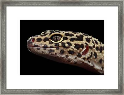 Closeup Head Of Leopard Gecko Eublepharis Macularius Isolated On Black Background Framed Print