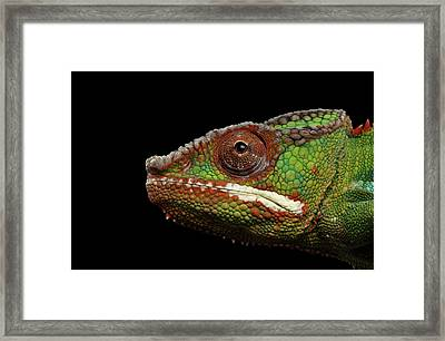 Closeup Head Of Panther Chameleon, Reptile In Profile View Isolated On Black Background Framed Print by Sergey Taran