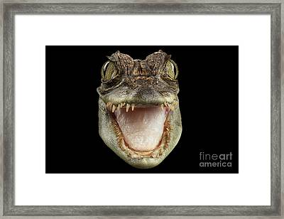Closeup Head Of Young Cayman Crocodile , Reptile With Opened Mouth Isolated On Black Background, Fro Framed Print