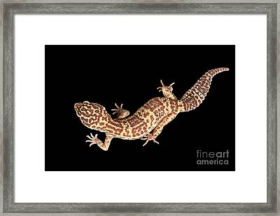 Closeup Leopard Gecko Eublepharis Macularius Isolated On Black Background Framed Print