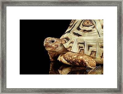 Closeup Leopard Tortoise Albino,stigmochelys Pardalis Turtle With White Shell On Isolated Black Back Framed Print by Sergey Taran