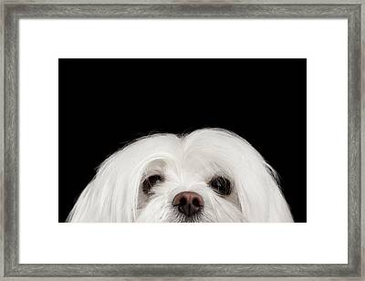 Closeup Nosey White Maltese Dog Looking In Camera Isolated On Black Background Framed Print by Sergey Taran