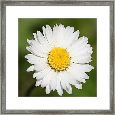 Closeup Of A Beautiful Yellow And White Daisy Flower Framed Print