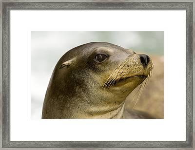 Closeup Of A California Sea Lion Framed Print by Tim Laman