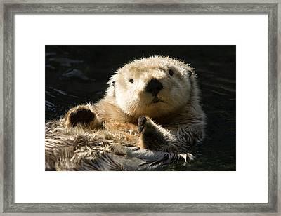 Closeup Of A Captive Sea Otter Making Framed Print by Tim Laman