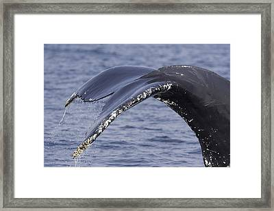Closeup Of A Humpback Whales Tail Framed Print