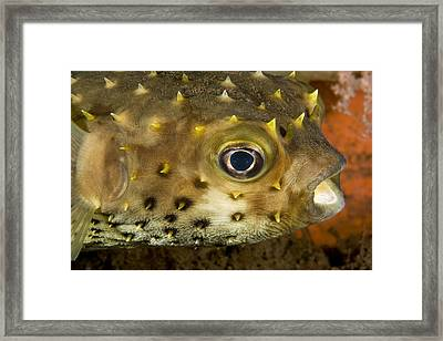 Closeup Of A Yellowspotted Burrfish Framed Print by Tim Laman