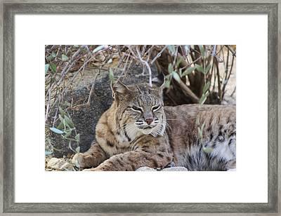 Closeup Of Bobcat Framed Print