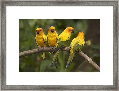 Closeup Of Four Captive Sun Parakeets Framed Print by Tim Laman