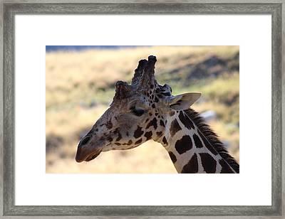 Closeup Of Giraffe Framed Print by Colleen Cornelius
