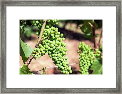 Closeup Of Grapes Framed Print by Jess Kraft