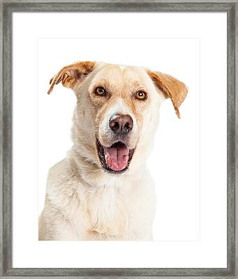 Closeup Of Happy Yellow Labrador Dog Crossbreed Framed Print