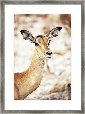 Closeup Of Impala In South Africa Framed Print by Susan Schmitz