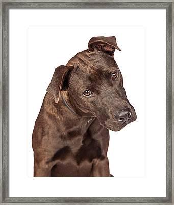 Closeup Of Labrador Crossbreed Dog Tilting Head Framed Print by Susan Schmitz