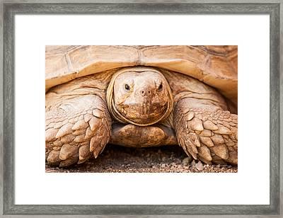 Closeup Of Large Galapagos Tortoise Framed Print by Susan Schmitz
