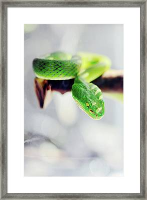 Closeup Of Poisonous Green Snake With Yellow Eyes - Vogels Pit Viper  Framed Print