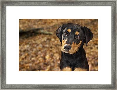 Closeup Of Rotweiller Puppy In Autumn Leaves Framed Print by Susan Schmitz