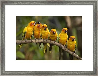 Closeup Of Six Captive Sun Parakeets Framed Print by Tim Laman
