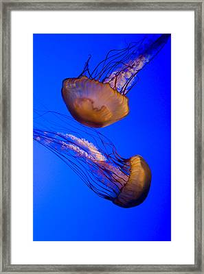 Closeup Of Two Captive Jellies Framed Print by Tim Laman
