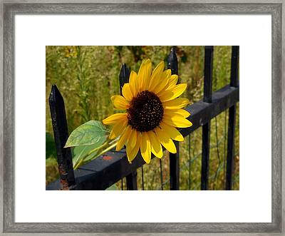 Closeup Of Yellow Sunflower Framed Print by Lanjee Chee