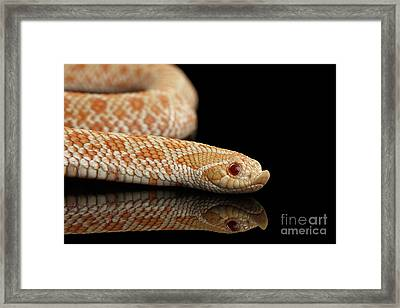 Closeup Pink Pastel Albino Western Hognose Snake, Heterodon Nasicus Isolated On Black Background Framed Print
