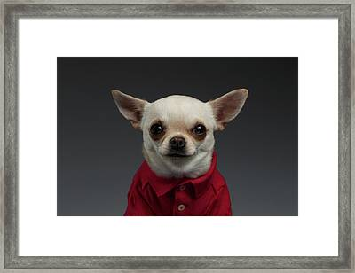 Closeup Portrait Chihuahua Dog In Stylish Clothes. Gray Background Framed Print by Sergey Taran