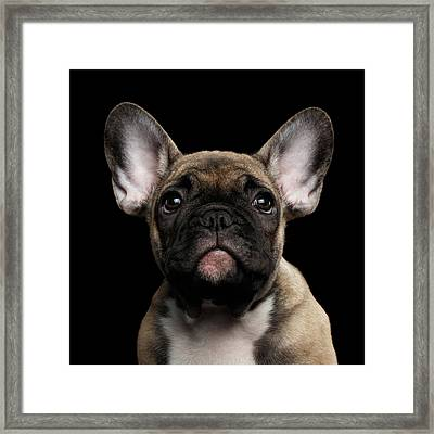 Closeup Portrait French Bulldog Puppy, Cute Looking In Camera Framed Print by Sergey Taran