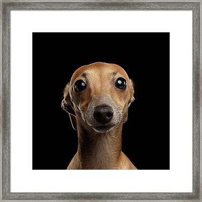 Closeup Portrait Italian Greyhound Dog Looking In Camera Isolated Black Framed Print