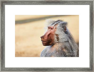 Framed Print featuring the photograph Closeup Portrait Of A Male Baboon by Nick Biemans