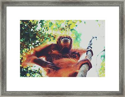 Closeup Portrait Of A Wild Sumatran Adult Female Orangutan Climbing Up The Tree And Holding A Baby Framed Print