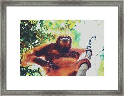 Closeup Portrait Of A Wild Sumatran Adult Female Orangutan Climbing Up The Tree And Holding A Baby Framed Print