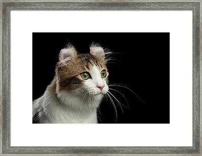 Closeup Portrait Of American Curl Cat On Black Isolated Background Framed Print