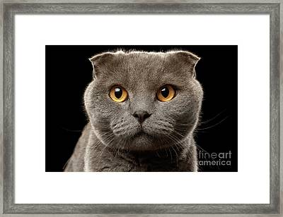 Closeup Portrait Of British Fold Cat On Black Framed Print by Sergey Taran