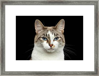 Closeup Portrait Of Face White Cat, Blue Eyes Isolated Black Background Framed Print