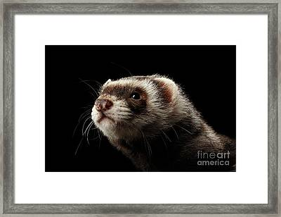 Closeup Portrait Of Funny Ferret Looking At The Camera Isolated On Black Background, Front View Framed Print