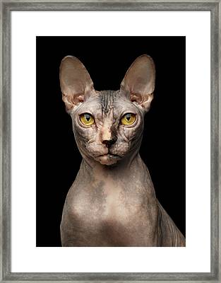 Closeup Portrait Of Grumpy Sphynx Cat, Front View, Black Isolate Framed Print by Sergey Taran