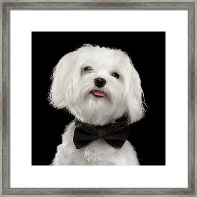 Closeup Portrait Of Happy White Maltese Dog With Bow Looking In Camera Isolated On Black Background Framed Print