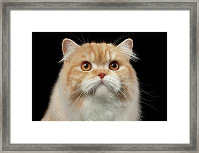 Closeup Portrait Of Red Big Persian Cat Angry Looking On Black Framed Print by Sergey Taran