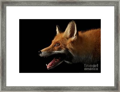 Closeup Portrait Of Red Fox In Profile Isolated On Black  Framed Print