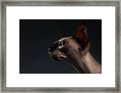 Closeup Portrait Of Sphynx Cat In Profile View On Black  Framed Print by Sergey Taran