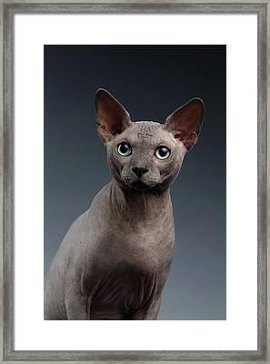 Closeup Portrait Of Sphynx Cat Looking In Camera On Dark  Framed Print