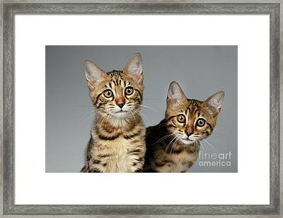 Closeup Portrait Of Two Bengal Kitten On White Background Framed Print by Sergey Taran