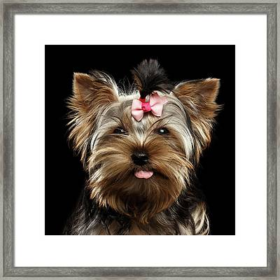Closeup Portrait Of Yorkshire Terrier Dog On Black Background Framed Print