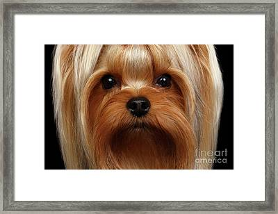 Closeup Portrait Yorkshire Terrier Dog On Black Framed Print by Sergey Taran
