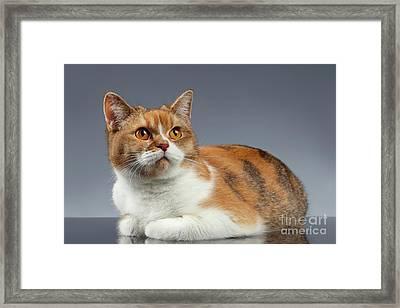 Closeup Red British Cat Lies On Gray  Framed Print by Sergey Taran