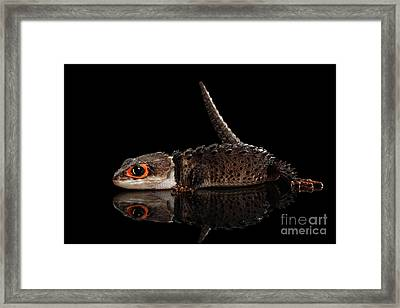 Closeup Red-eyed Crocodile Skink, Tribolonotus Gracilis, Isolated On Black Background Framed Print